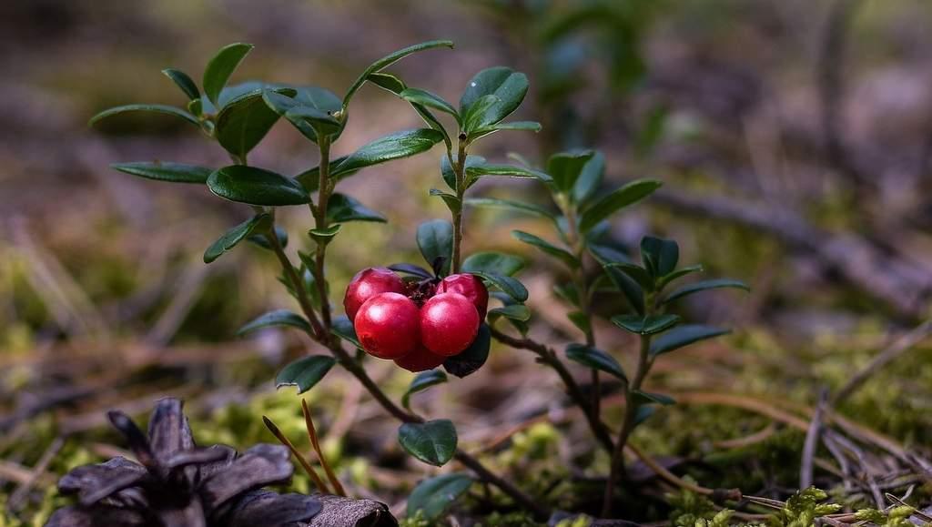 Cranberry (Vaccinium macrocarpon Aiton)