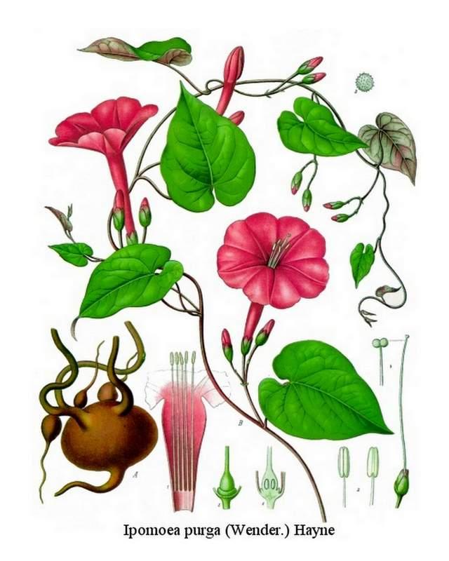 Jalape.-ipomoea_purga_-_Koehlers_Medizinal-Pflanzen-077